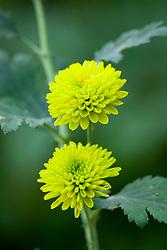 Chrysanthemum 'Donna Green'