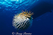 balloonfish,  spiny puffer, brown porcupinefish or long-spine <br /> porcupinefish, Diodon holocanthus, inflated with spines erect <br /> as a defense mechanism, Grand Cayman, Cayman Islands <br /> ( Caribbean Sea )