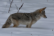A coyote listens to sounds beneath the snow as it looks for a meal.