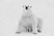 Schweden, SWE, Kolmarden, 2000: Ein Eisbaer (Ursus maritimus) sitzt im Schnee, Kolmardens Djurpark. | Sweden, SWE, Kolmarden, 2000: Polar bear, Ursus maritimus, sitting on a snowfield, Kolmardens Djurpark. |