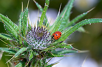 Ladybird on a thistle Mount Washington, Vancouver Island, British Columbia   Photo: Peter Llewellyn