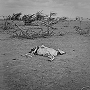 Carcass of a dead goat seen outside the IFO-1 camp in the Dadaab refugee camp in northeastern Kenya. Hundreds of thousands of refugees are fleeing lands in Somalia due to severe drought and arriving in what has become the world's largest refugee camp. Photo: Sanjit Das/Panos