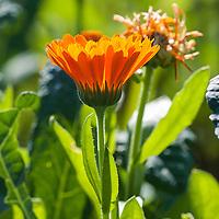 Orange calendula flower.