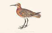 The curlew sandpiper (Calidris ferruginea) is a small wader that breeds on the tundra of Arctic Siberia. It is strongly migratory, wintering mainly in Africa, but also in south and southeast Asia and in Australia and New Zealand. 18th century watercolor painting by Elizabeth Gwillim. Lady Elizabeth Symonds Gwillim (21 April 1763 – 21 December 1807) was an artist married to Sir Henry Gwillim, Puisne Judge at the Madras high court until 1808. Lady Gwillim painted a series of about 200 watercolours of Indian birds. Produced about 20 years before John James Audubon, her work has been acclaimed for its accuracy and natural postures as they were drawn from observations of the birds in life. She also painted fishes and flowers.