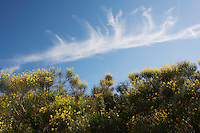 Clouds over Spanish broom (Spartium junceum), San Marino.