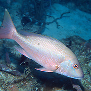 Mutton Snapper drift above reefs and sand between reefs in Tropical West Atlantic; picture taken Key Largo, FL.