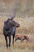 Cow moose with calf