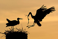 White stork (Ciconia ciconia) adult bringing in nest material. Rusne, Lithuania. Mission: Lithuania, June 2009