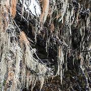 Old Man's Beard (Usnea Barbata) hanging from branches in the heath zone of Mt Kilimanjaro, Tanzania.