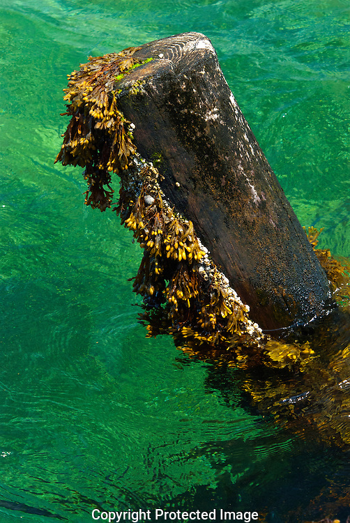 Emerald waters of Cape Cod's North Atlantic swirl around an old pilling covered in Rockweed (Fucus).