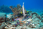 hunting coalition of blue goatfish or gold-saddle goatfish, Parupeneus cyclostomus, with bluefin jacks or omilu or bluefin trevally, Caranx melampygus, and a Pacific trumpetfish, Aulostomus chinensis, forage in reef crevices below an antler coral bleached and killed by high water temperatures, Kohanaiki, North Kona, Hawaii ( the Big Island ), USA ( Central Pacific Ocean )
