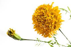 Marigold, tagetes erecta#1