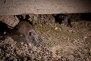 Norway rat(s) (Rattus Norvegicus) emerging from a rat hole in a suburban yard at night. Portland, Oregon. © Michael Durham / www.DurmPhoto.com
