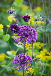 Aquilegia vulgaris with Allium hollandicum 'Purple Sensation'
