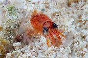 juvenile squid, Loligo sp., (probably Loligo plei ) surrounded by transparent planktonic shrimp, at night, showing chromatophores ( pigment sacs ), Lighthouse Reef Atoll, Belize, Central America  ( Caribbean Sea )