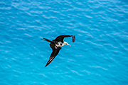 Lesser frigatebird (Fregata ariel) in flight against blue sky on Aride, Island, Seychelles in October