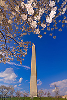 The Washington Monument ringed by cherry blossoms, Washington D.C., U.S.A.