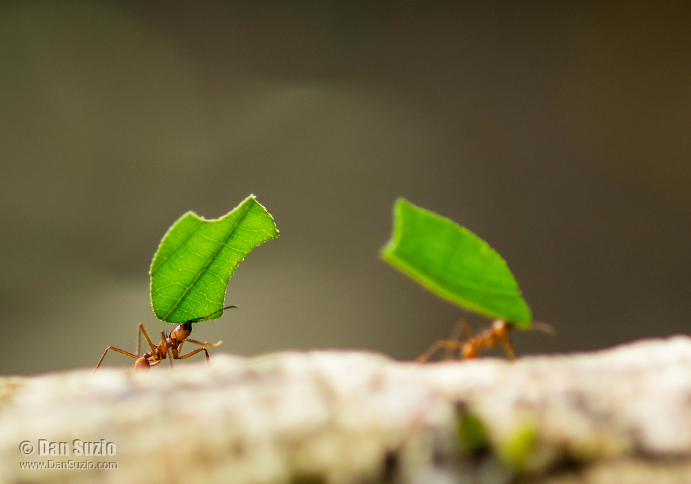 Leafcutter Ants, Atta cephalotes, carry pieces of leaf to their nest in Tortuguero National Park, Costa Rica