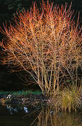 Cornus sanguinea 'Midwinter Fire'. Common dogwood