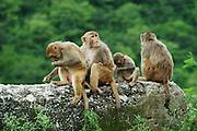 India, Mandi, Kullu District, Himachal Pradesh, Northern India, Macaca mulatta Monkeys,