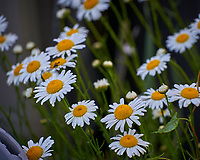 Dasies. Image taken with a Leica TL-2 camera and 55-135 mm lens