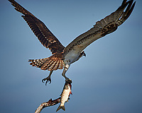 Osprey with a Fish. Biolab Road, Merritt Island National Wildlife Refuge. Image taken with a Nikon D4 camera and 500 mm f/4 VR lens (ISO 360, 500 mm, f/8, 1/2000 sec).