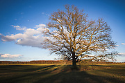 Lone oak (Quercus robur) in fields partly lit by setting sun, near Barkava, Latvia Ⓒ Davis Ulands | davisulands.com