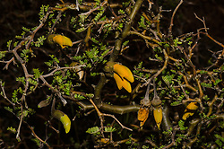 Prostrate or mountain kowhai, Sophora prostrata