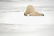 Polar bear (Ursus maritimus) scratching itself on frozen tundra<br /> Churchill<br /> Manitoba<br /> Canada