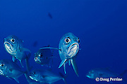 bigeye jacks or trevally, Caranx sexfaciatus, Emma Reef, Kimbe Bay, New Britain, Papua New Guinea ( Bismarck Sea )