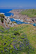 Sea cliffs topped by bluebells on the west coast of Lundy island, Bristol Channel, U.K.
