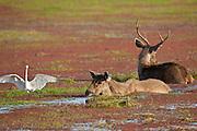 Indian Sambar, Rusa unicolor, male and female deer in Rajbagh Lake in Ranthambhore National Park, Rajasthan, India