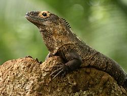 Central America, Costa Rica, Curu National Wildlife Refuge, Green Iguana