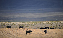 """South Africa - Cape Town - 13 June 2020 - According to southafrica.co.za; ''Drakensberger cattle developed out of the black indigenous cattle of South Africa, and is now part of the country's beef production. As early as 2 December 1497, Vasco da Gama mentioned the """"fat, black ox"""" that he obtained in a trade. However, iIt was only after the arrival of Jan van Riebeeck in 1652, specifically under governor Willem Adriaan van der Stel, around 1700, that cattle farming caught on. They gained the name Vaderlanders when the Voortrekkers started farming with them and were extensively used as draught animals during the Groot Trek, which started in 1838.<br /> <br /> According to the Drakensberger Breeders' Society, great genetic gains were made thanks to the strategic breeding programme of Jacobus Johannes Uys and his son, Dirk Cornelius, between 1814 and 1910, in the district of Wakkerstroom and Utrecht. Their efforts were continued by Dirk's son, Coenrad and son-in-law, Joey Uys. Consequently, the cattle also became known as the Uysbeeste.'' Picture Courtney Africa/African News Agency(ANA)"""