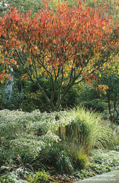 Prunus sargentii in autumn.
