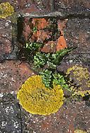 Black Spleenwort - Asplenium nigrum