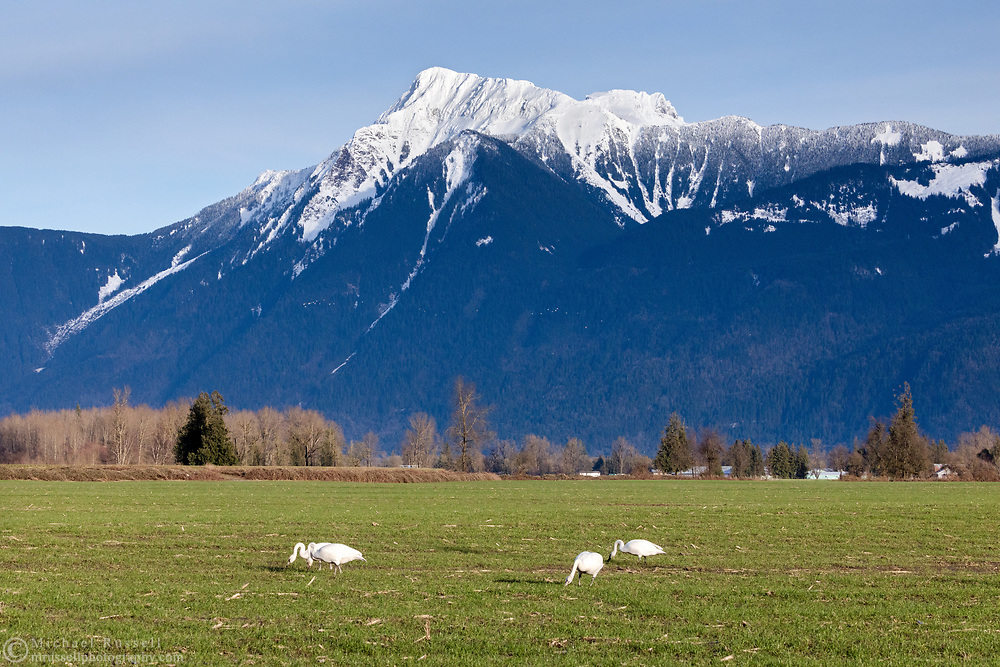 Trumpeter Swans (Cygnus buccinator) feeding in a farm field in the Rosedale area of Chilliwack, British Columbia, Canada.  Mount Cheam (Lhílheqey) is in the background.
