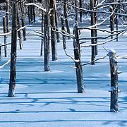 Japanese larch trees (Larix kaempferi) in the blue ice of Blue Pond in Biei, Hokkaido, Japan frozen over during winter.