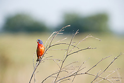 Painted bunting perched on stick on the Daphne Prairie, a remnant of the Blackland Prairie, Mount Vernon, Texas, USA. Check identification.