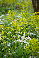 Euphorbia robbiae with White bluebell in the Nuttery at Sissinghurst. Hyacinthoides non-scripta 'Alba'