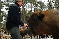 European bison, Bison bonasus, Drawsko Military area, Western Pomerania, Poland, Maciej Tracz