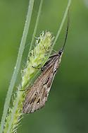 Phryganea grandis