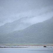 Alaskan Brown Bear (Ursus middendorffi) adult along tidal flats. Alaskan Peninsula