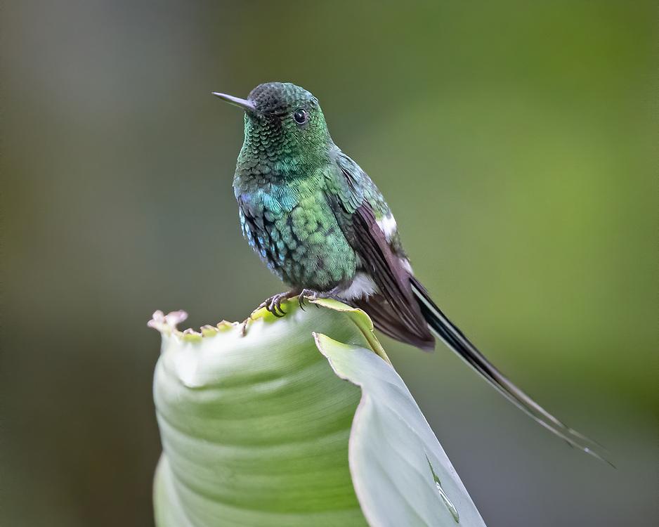 Discosura conversii,  <br /> Cinchona area, Costa Rica, June 2021