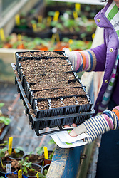 Sowing sweet peas in root trainers in early spring and putting in coldframe