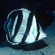 Banded Butterflyfish flit about reef tops, often in pairs in Tropical West Atlantic; picture taken Grand Cayman.