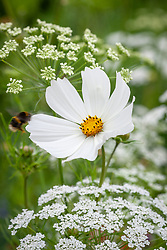 Bee landing on Cosmos bipinnatus 'Purity' with Ammi majus (Bishop's Flower) in the meadow