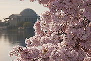 Cherry tree blossoms along the Tidal basin with the Jefferson Memorial in Washington, DC.