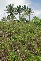 Coconut palms on the upper slopes of Mount Manucoco, Atauro Island, Timor-Leste (East Timor)