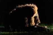 Maennlicher Loewe (Panthera leo) aus dem Inyati Private Game Reserve im Westen des Krueger Nationalparks zu Beginn der Regenzeit im November